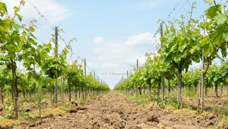 Crama Murfatlar degustare vin|365romania.ro